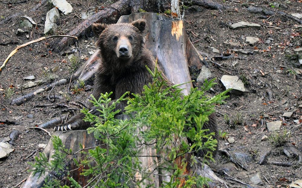Braunbären lebten bis etwa 1750 auch in Deutschland; damals wurde die Art gezielt ausgerottet. Doch das Verhältnis des Menschen zum Bären war nicht immer feindselig. Foto: Rbrechko, wikipedia.