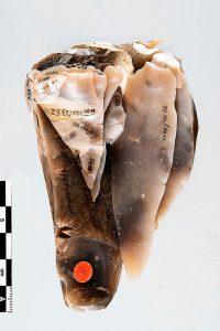 Abb. 2: Zusammensetzungen von Steinartefakten wie dieser Komplex aus dem Inventar vom Fundplatz Alt Duvenstedt LA 120 erlauben es, die Herstellungstechniken präzise nachzuvollziehen (Foto: SSHLM/Fotowerkstatt).